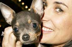 Demi Moore acupuntura a su chihuahua